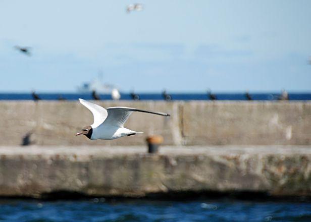 Badania-wedrowek-ptakow-na-wybrzezu-Baltyku